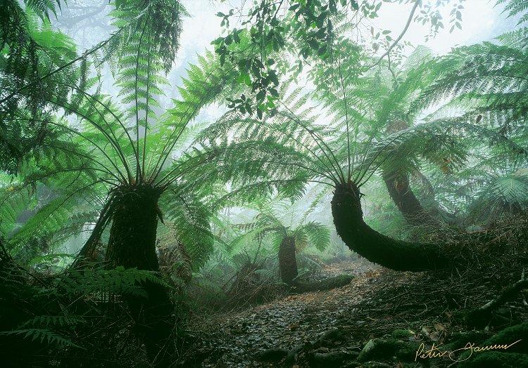 Fern Forest - Peter Jarver Fine Art Photography
